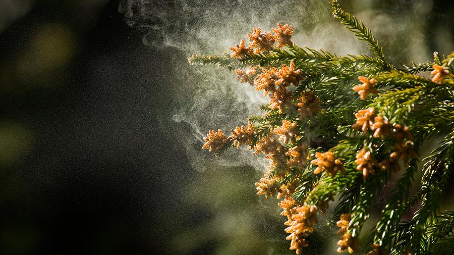 2020年の花粉シーズンは2月上旬にスタートが見込まれている。