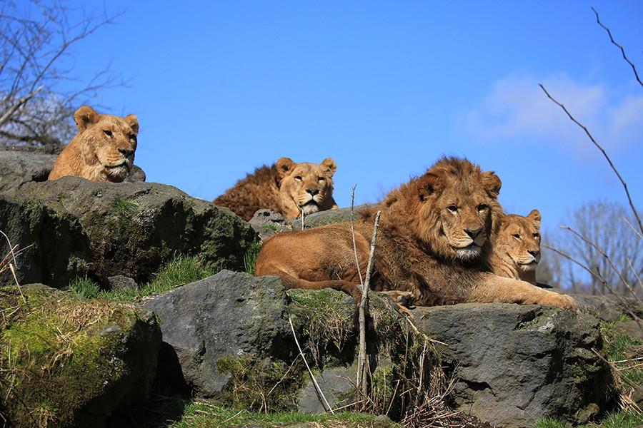 アニマルしっかりみるみる|ライオン