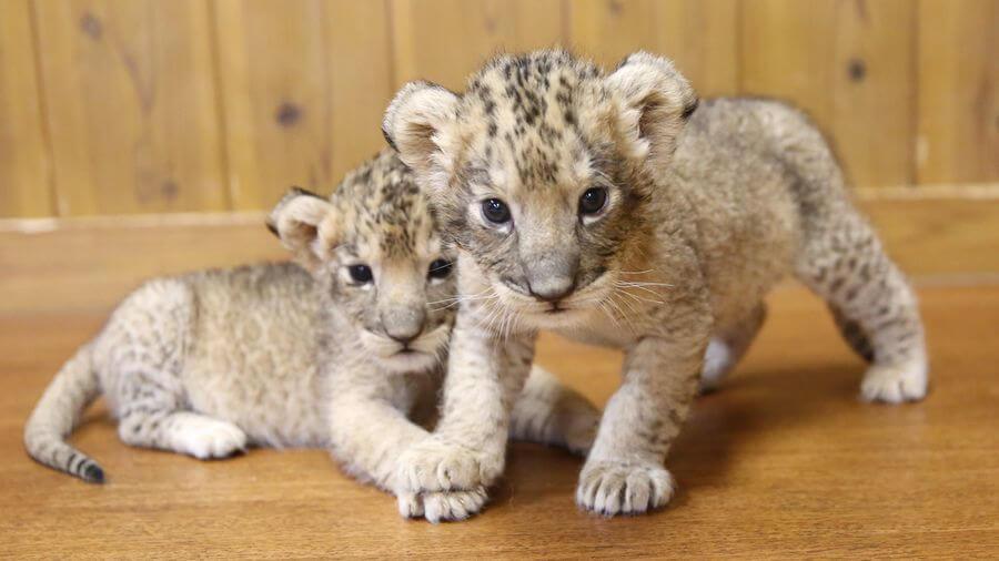 富士サファリパーク ライオン赤ちゃん くるくら